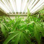 cannabis attorney, cannabis lawyer, cannabis law, marijuana law, marijuana lawyer,