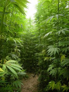 hemp, marijuana, politics, lawyer, attorney, cbd, cannabinoids, legalization, industrial hemp, weed law, weed